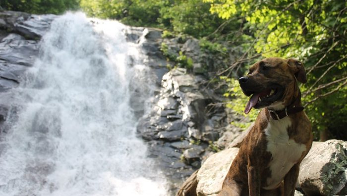 Gorgeous pitbull boxer mix dog relaxing from his hike next to one of many beautiful waterfalls located in Shenandoah National Park in Virgnia